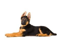 Милая немецкая овчарка собаки щенка на белой предпосылке Стоковое Изображение RF