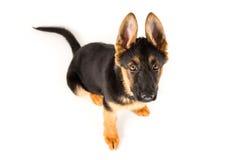 Милая немецкая овчарка собаки щенка смотря вверх Стоковое фото RF