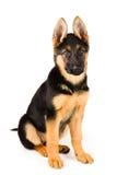 Милая немецкая овчарка собаки щенка Стоковое Изображение