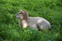 Милая овечка на выгоне Стоковые Изображения