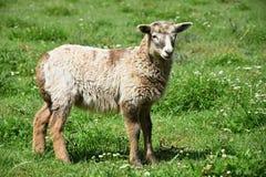 Милая овечка на луге Стоковое Изображение