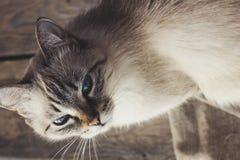 Милая домашняя кошка смотря камеру Стоковые Изображения RF