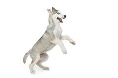 Милая осиплая собака щенка Стоковая Фотография RF