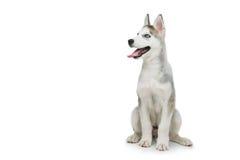 Милая осиплая собака щенка Стоковое Изображение