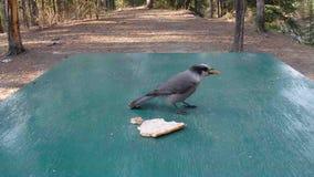Милая одичалая птица есть хлеб в Юконе акции видеоматериалы
