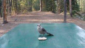 Милая одичалая птица есть хлеб в Юконе сток-видео