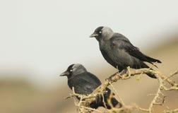 Милая пара monedula Corvus галки садилась на насест на ветви Стоковые Изображения