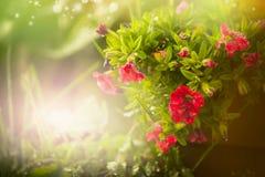 Милая петунья цветет над садом природы лета или весны красивым стоковые фотографии rf