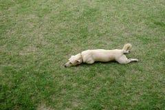 Милая русая собака кладет вниз на зеленую траву стоковые изображения