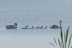 Милая семья лебедя с малыми цыпленоками Стоковое Изображение