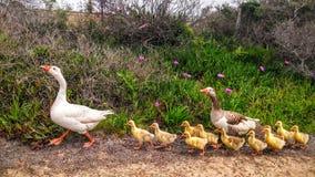 Милая семья уток Стоковая Фотография RF
