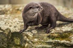 Милая смешная выдра на зоопарке в Берлине Стоковые Фото