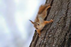 Милая смешная маленькая потеха белки вползая на дереве в парке Стоковая Фотография