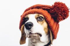 Милая собака бигля в теплой оранжевой шляпе Стоковые Фотографии RF