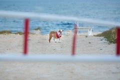 Милая собака быка с красным bandana на друге шеи стоя ждать человеческом близко к стороне моря с смешной стороной за барами Стоковые Фото