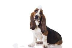 Милая собака выхода пластов младенца после ливня стоковое изображение rf