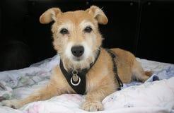 Милая собака Джека Рассела/йоркширского терьера перекрестная на одеяле Стоковые Фотографии RF