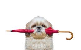 Милая собака держит зонтик Стоковые Изображения RF