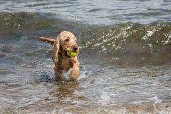Милая собака играя в море стоковые изображения