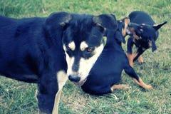 Милая собака играя на зеленой траве Стоковые Фотографии RF