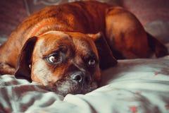 Милая собака кладя на кровать смотря правый Стоковые Фото
