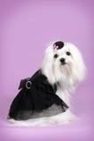 Милая собака мальтийсная в черном блестящем обмундировании Стоковая Фотография