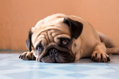 Милая собака мопса с унылым стоковое изображение rf