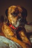 Милая собака положенная на кровать Стоковые Фото