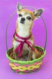 Милая собака сидит и слушает внимательно в покрашенной корзине Собака чихуахуа карлика с красным смычком на предпосылке сирени Стоковые Фото