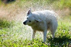 Милая собака тряся сухое в брызге воды Стоковые Фото