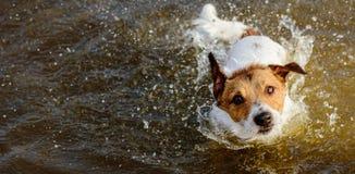 Милая собака тряся с и брызгая в воде смотря камеру Стоковое Изображение