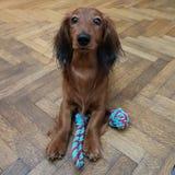 Милая собака умоляет для того чтобы сыграть Стоковые Фотографии RF