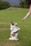 Милая собака умоляя обслуживанию Стоковые Фотографии RF