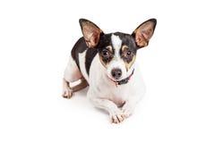 Милая собака чихуахуа с красивыми глазами Брайна Стоковое фото RF