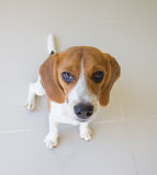 милая собака щенка бигля Стоковые Изображения