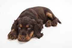 Милая собака щенка Spaniel кокерспаниеля кладя вниз стоковые изображения