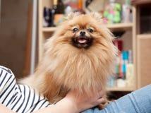 Милая собака Pomeranian сидит в руках хозяйки Стоковое Фото
