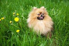 Милая собака Pomeranian сидя в зеленой траве Стоковые Изображения RF