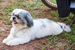 Милая собака Shih Tzu лежит на земле Стоковое Изображение RF