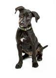 Милая собака Siiting Лабрадора вниз над белизной Стоковое Фото