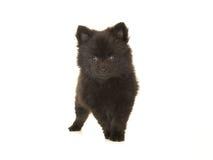 Милая стоящая черная pomeranian собака щенка изолированная на белом bac Стоковые Изображения RF