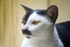 Милая тайская предпосылка животного кота Стоковое Изображение RF