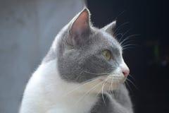 Милая тайская предпосылка животного кота Стоковые Фото