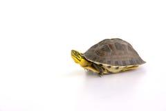 Милая черепаха Стоковые Фото
