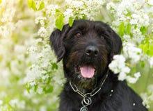 Милая черная собака остолопа с смешной стороной стоковая фотография