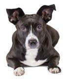 Милая черная собака смотря камеру Стоковое Изображение RF