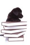 Retriever Лабрадора стоя с своими лапками на куче книг Стоковая Фотография