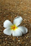 Милая Plumeria белые и яркий в природе Стоковая Фотография