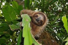 Милая 3-toed лень в диком животном дерева джунглей Стоковая Фотография