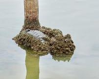 Мидии в реке stone_5 стоковая фотография